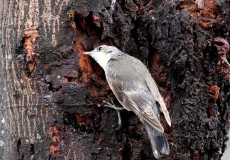 White Throated Treecreeper
