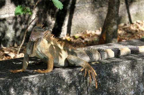 Chameleon Iguana