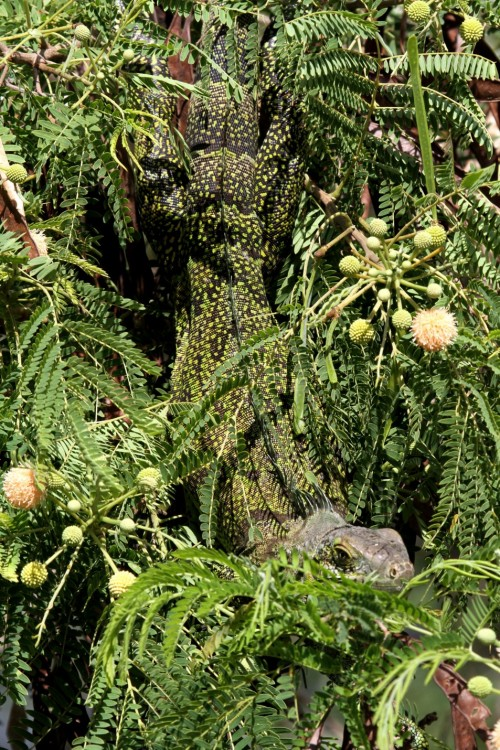 Chameleon iguana (10)