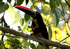 Fiery Billed Aracari