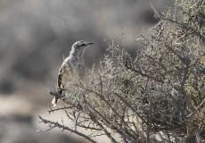 Patagonia Mocking Bird