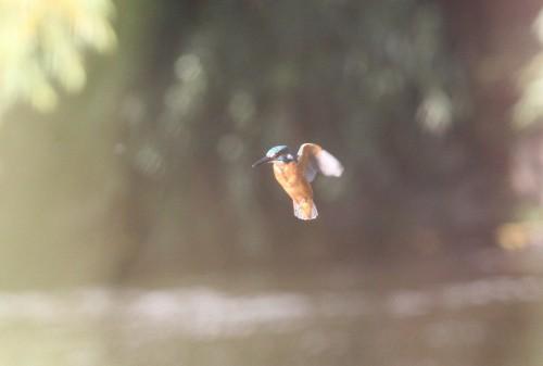 Kingfisher (23)
