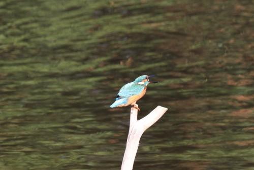 Kingfisher (25)