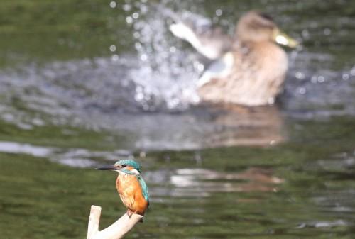 Kingfisher (27)