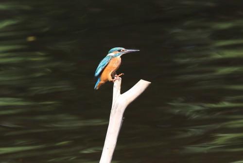 Kingfisher (29)