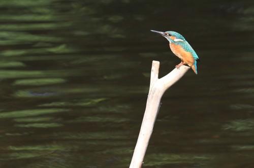 Kingfisher (30)