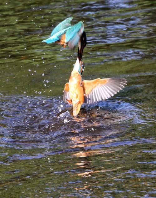 Kingfishers (10)