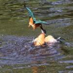 Kingfishers (11)