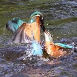 Kingfishers (12)