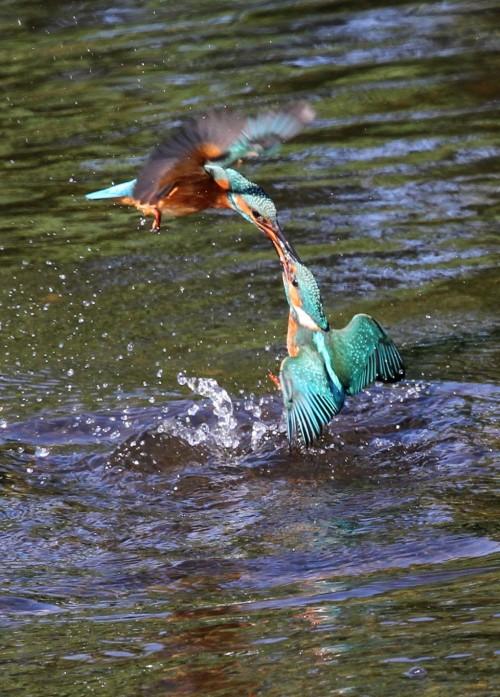 Kingfishers (13)