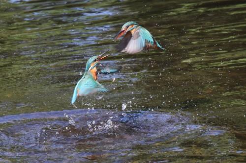 Kingfishers (18)