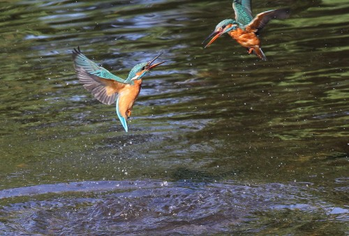 Kingfishers (19)