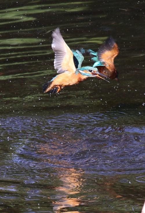 Kingfishers (22)