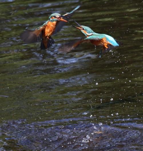 Kingfishers (6)