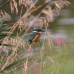 Kingfisher (4)