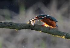 Kingfisher at Far Ings