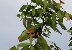 Rosy faced lovebirds