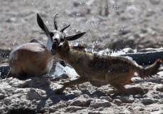 Springbok attack