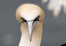 Northern Gannet portraits