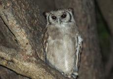 Verreaux's (Giant) Eagle Owl