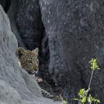 leopard 11