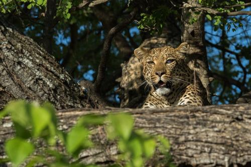 leopard 14