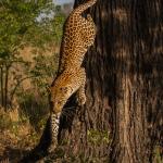 leopard 8