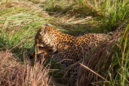 leopard 9