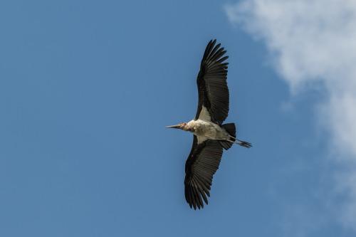 marabou stork 3