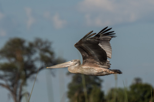 pink backed pelican 2