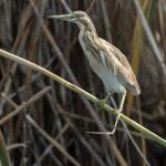 squacco heron 2