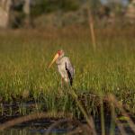 yellow billed stork 6