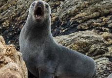 Guadaloupe Fur Seal