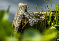 Emperor dragonfly and exuvia