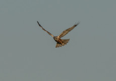 Marsh Harriers