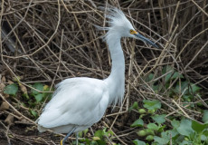Snowy egrets – click to enter