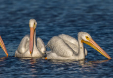 American white pelicans – click to enter