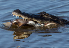American alligator – click to enter