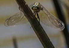 Sri Lankan dragonflies and damselflies