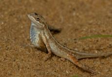 Fan-throat lizard