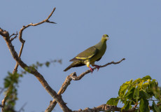 Orange-breasted green-pigeons