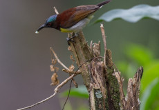 Purple-rumped sunbirds