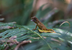 Kangaroo lizard
