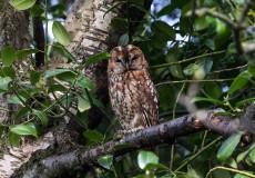 The elusive tawny owl