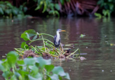 Pied egret