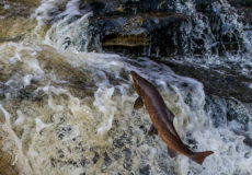 Stainforth Force salmon run