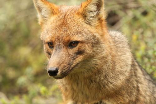 Patagonian Grey Fox