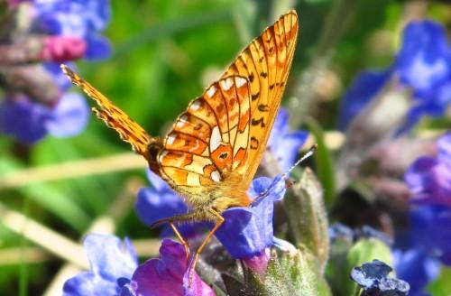 Alps Fritillary Butterfly