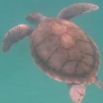 Hawksbill turtle (2)