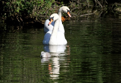 Mute swan and chick (2)